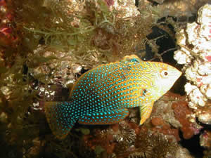 , also called the Potter's Leopard wrasse ...