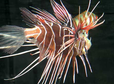 But Getting Stung By A Lionfish Is Actually Not As Mon You D Think