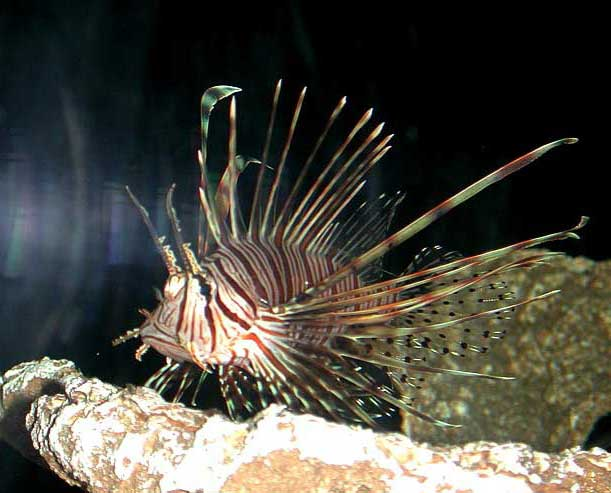 of the dwarf lionfish ...