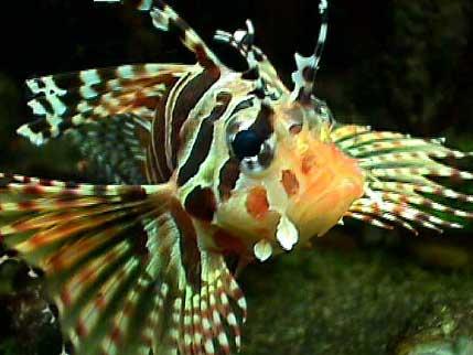 a dwarf zebra lionfish...