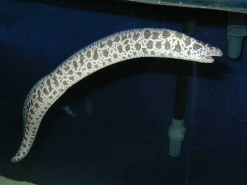 A Serpent For Your Reef Tank: A Look at Fish-Safe Eels by Frank ...