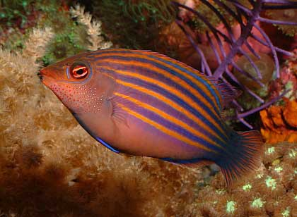 Four Six Eight Who Do We Appreciate Wr Es Wr Es The Genus Pseudocheilinus By Henry C Schultz Iii Reefkeeping Com