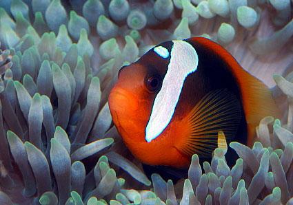 Рыбы-клоуны просто идеальны для содержания в морских аквариумах.