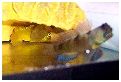 Yellow Watchman Goby For Sale The Yellow Watchman Goby