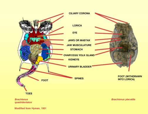 Whirling And Spinning Rotifers also Flatworms additionally Brachionus Rotifer additionally Cardshowall additionally BioDivAnimals. on rotifers diagram labeled