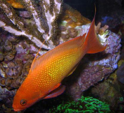 Lyretail anthias Sea Goldie Exotics Fish loricula flame pygmy ...