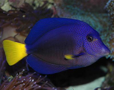 Zebrasoma xanthurum for Purple saltwater fish